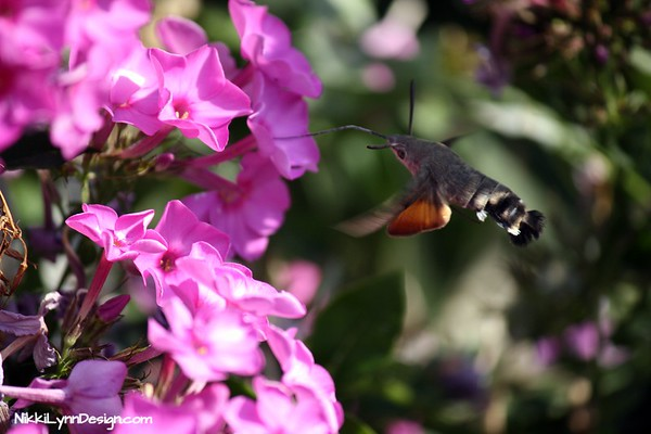 Sphinx Hummingbird Collecting Nectar From Garden Phlox