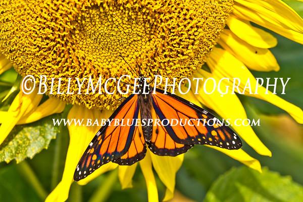 Butterflies - 18 Sep 2011
