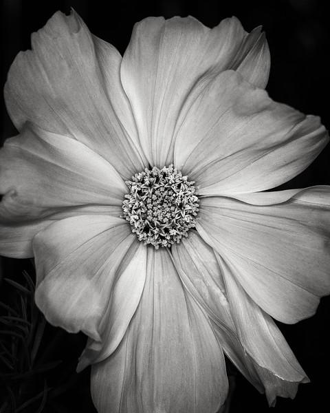 white-cosmos.jpg