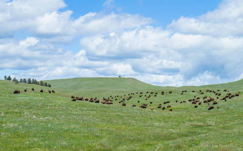 Bison in the Sping_IMG_2428.jpg