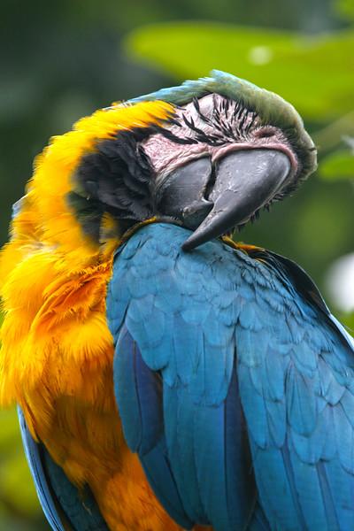 Sleeping parrot, Guayaquil, Ecuador