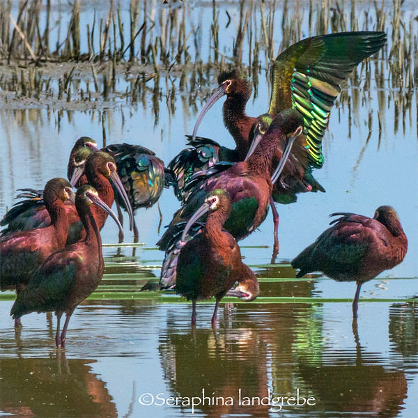 _DSC6444white Faced Ibis Iridescent wingd.jpg