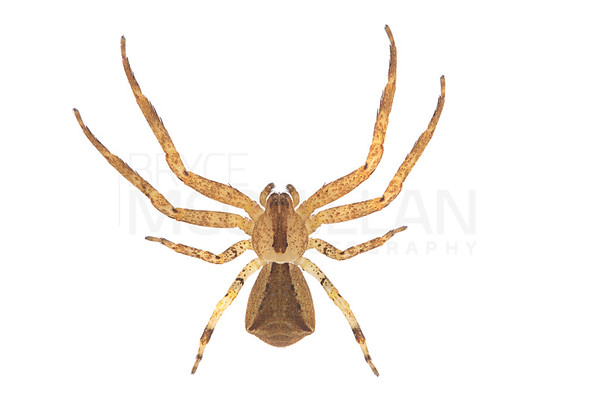 THOMISIDAE (crab spider)