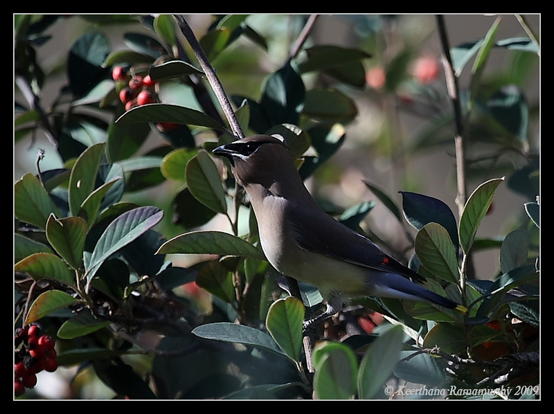 Cedar Waxwing, Mast Park, San Diego County, California, January 2009