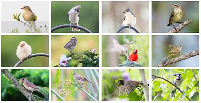 Songbirds 1