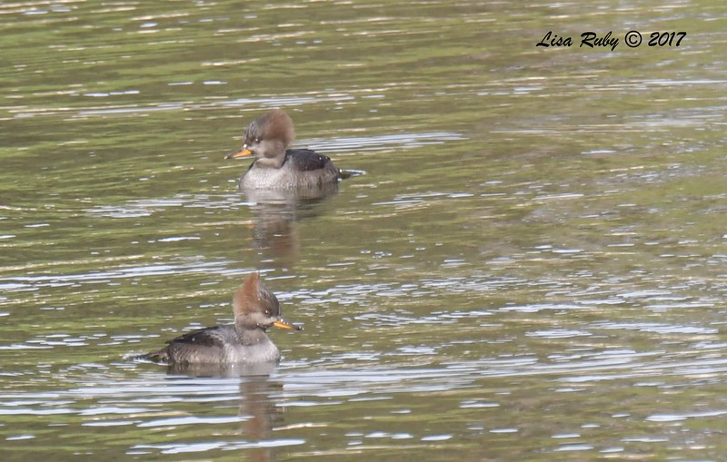 Hooded Mergansers - 11/3/2017 - Poway Pond