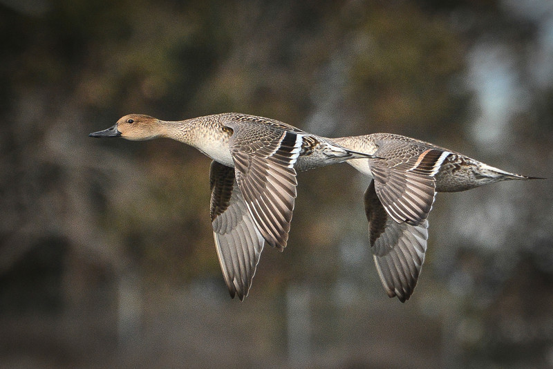 Northern Pintail Hens