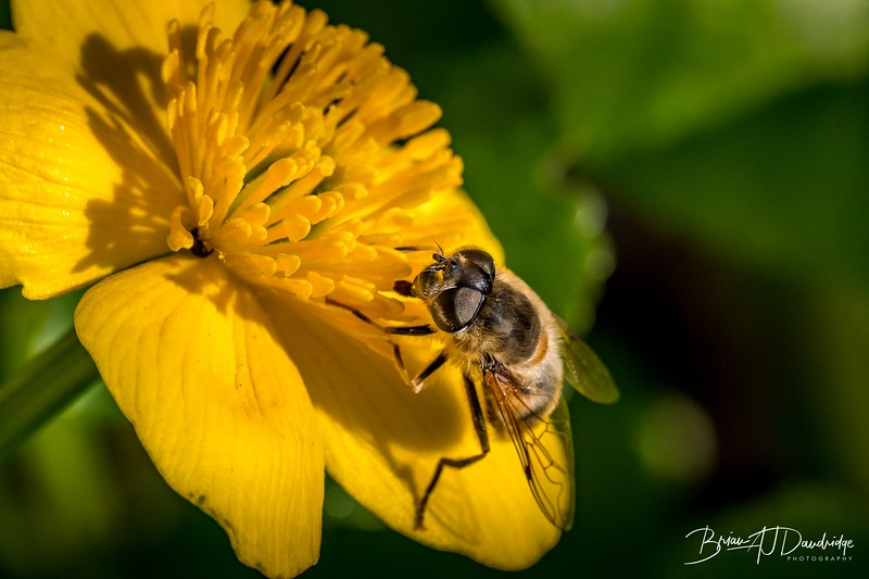 Fly on a Marsh Marigold