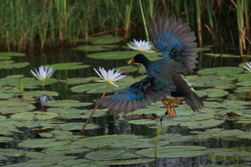 zzzAnahuac 8-31-14 313B, less crop, Gallinule, wings spread SMALL.jpg