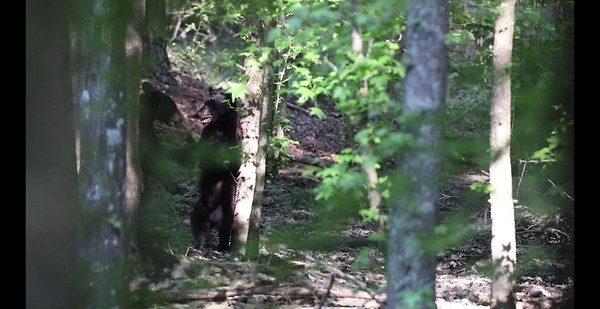 Bear fight at Pungo Lake 5/20/19