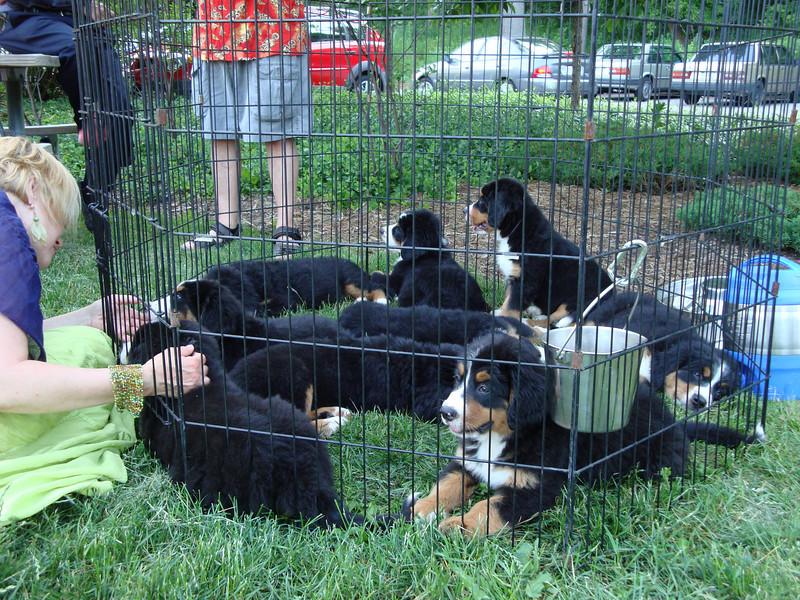 Bernese Mountain pups. Nine!