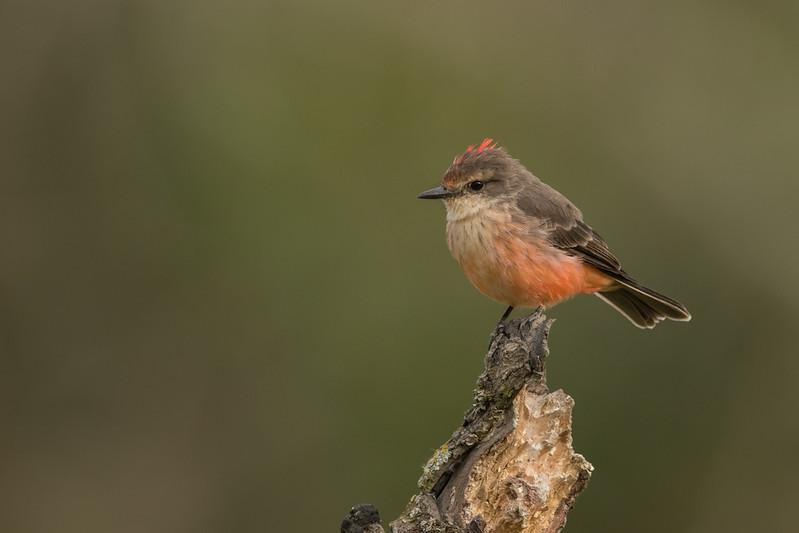 Vermilion Flycatcher - Female - Puembo, Ecuador