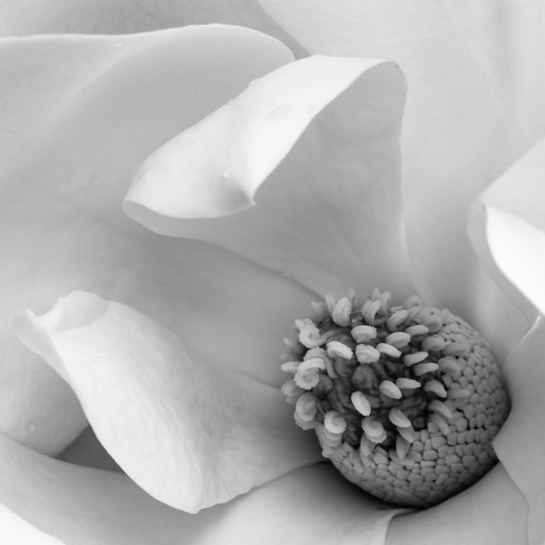 Magnolia B&W
