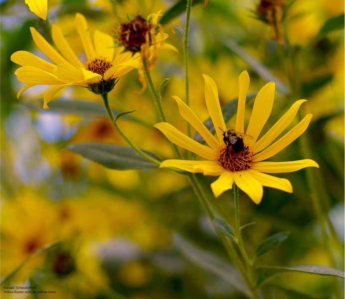 yellow-flower-with-its-yellow-bee-3000px.jpg
