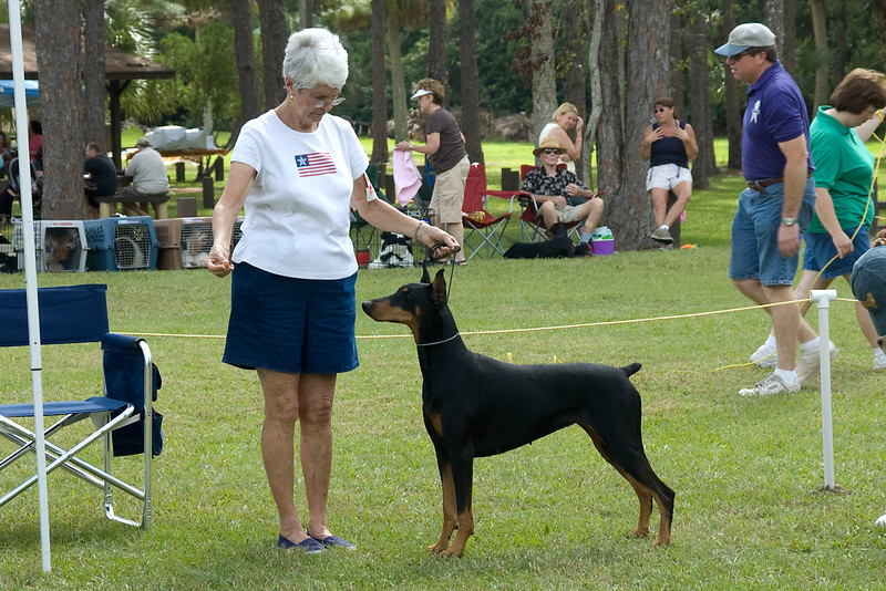 This Doberman Pinscher holds a beautiful stack, during the conformation judging.