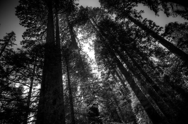 Sequoia's of Mariposa Grove