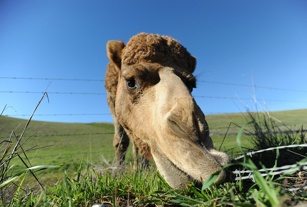 . A camel grazes along Bailey Road on Jan. 31, 2011, in Bay Point, Calif. It is not known if this is the camel that got loose on Bailey Road on Tuesday, Feb. 5. (Jose Carlos Fajardo/Staff Archives)