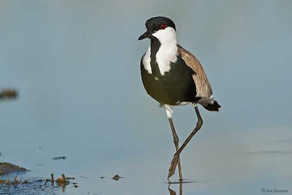 Spur winged Lapwing סיקסק