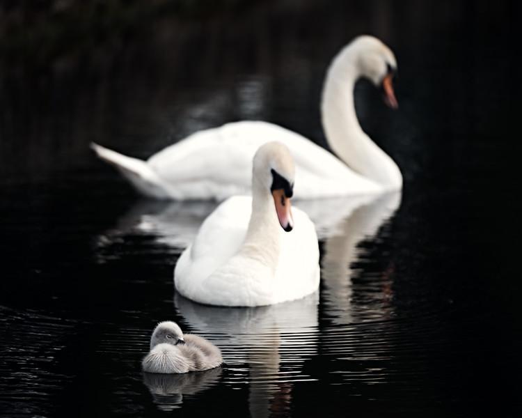 Swans_Of_Castletown022.jpg
