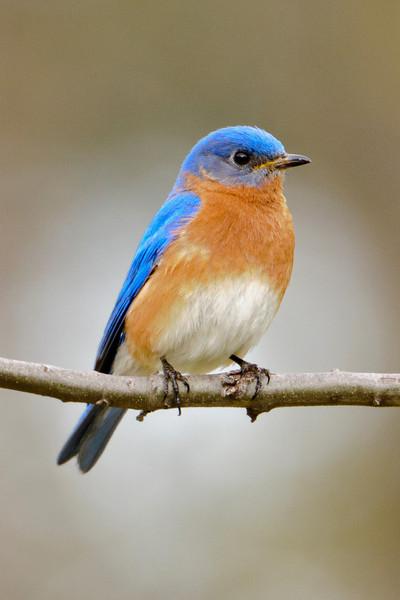 Bluebird - Eastern - male - Silverwood Park - New Brighton, MN - 03