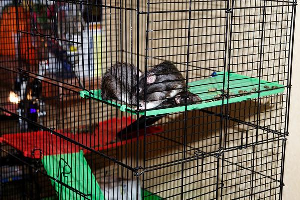 2008 Rats - Smokey - Oreo