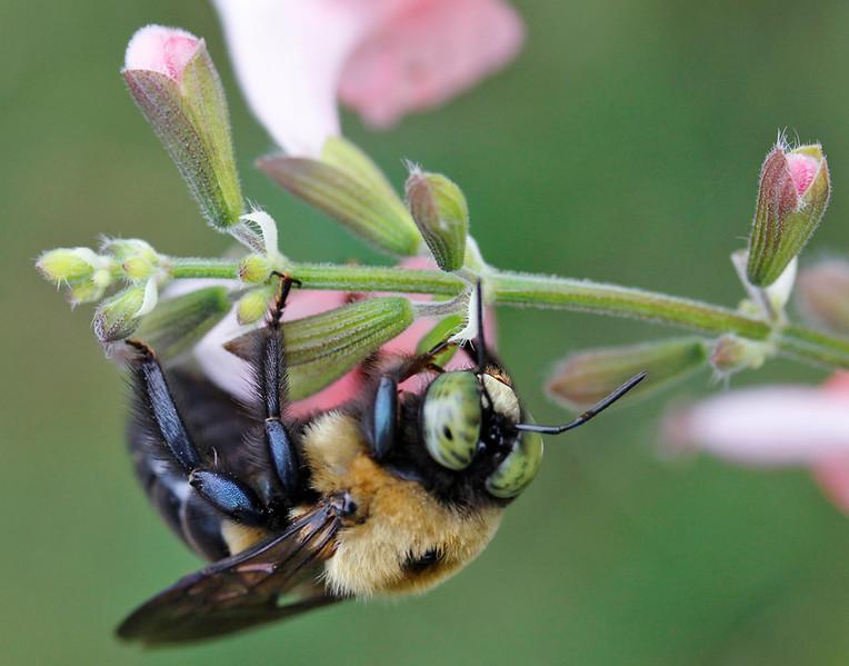 Green eyed bee