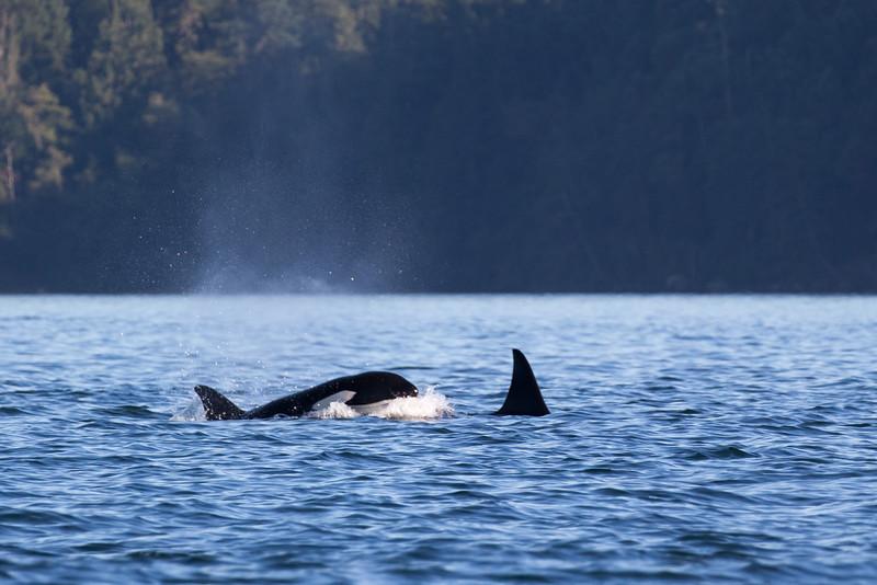 Orcas -  073115-708.jpg