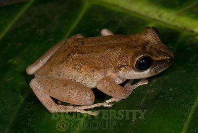 Pristimantis sp. (brown, distinct canthus)