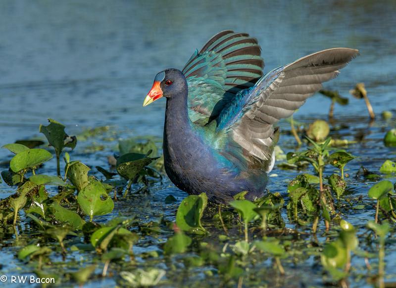 Purple Gallinule Wing Flap Brazos Bend State Park Rosenberg, TX