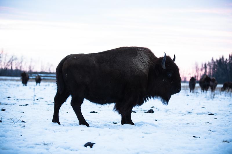 AHP171212_buffalo1359.jpg