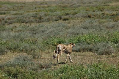 TZ Cheetah