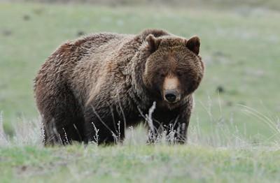 Yellowstone Wildlife May 2011