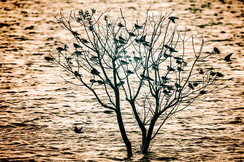 4.30.19 - Blackburn Creek Fish Nursery: Tree Swallow