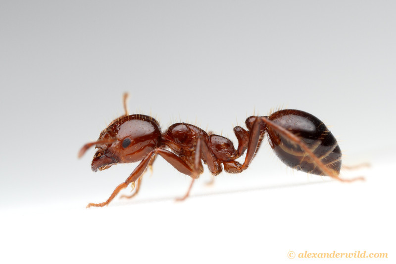 Solenopsis invicta, the red imported fire ant, major worker.  Texas, USA