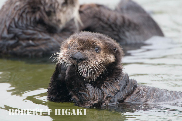 Sea Otters( Enhydra lutris)