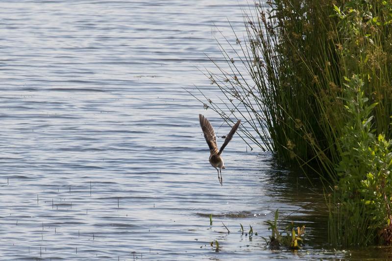 watersnip