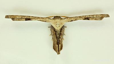 Uranioidea