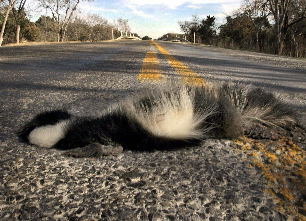 . <p>38. SKUNKS <p>Often mistaken for speed bumps in the wild.    (Paul J. Richards/AFP/Getty Images)