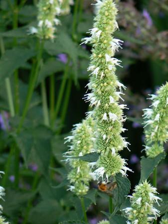 Agastache foeniculum 'Alabaster'