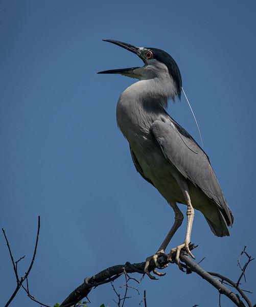 _5006764 Black-crowned Night Heron squawking.jpg