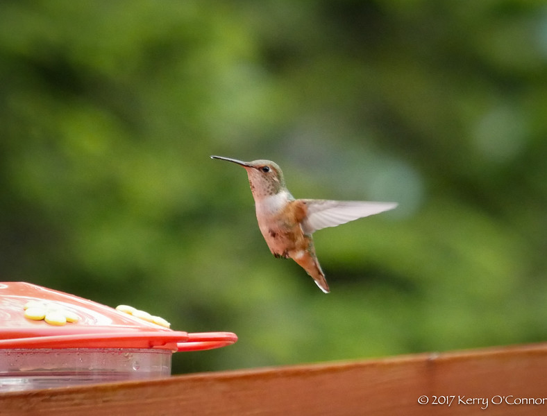Rufous Hummingbird female going in for another drink