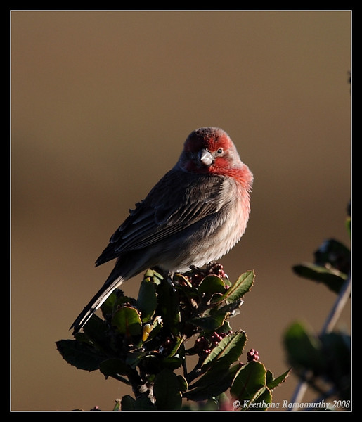 House Finch, San Elijo Lagoon, Rios Ave, San Diego County, California, December 2008