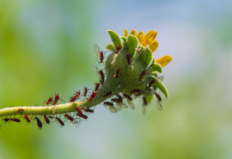 SunflowerandAphids-SpringFieldBog.jpg