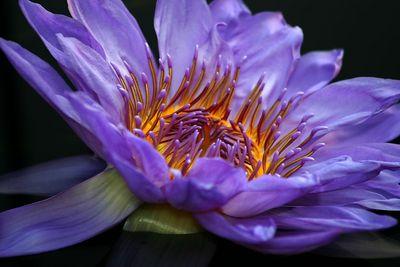 Longwood Water Lilies