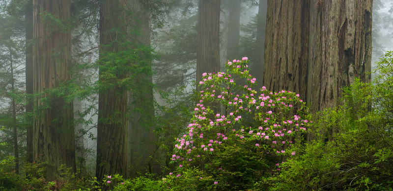 Rhododendrons in coastal Redwood forest, Redwood National Park