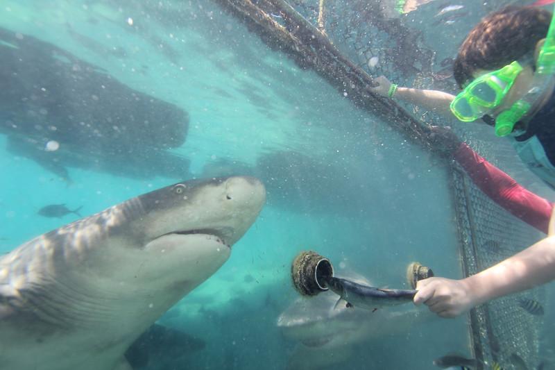 Feeding the Lemon Sharks