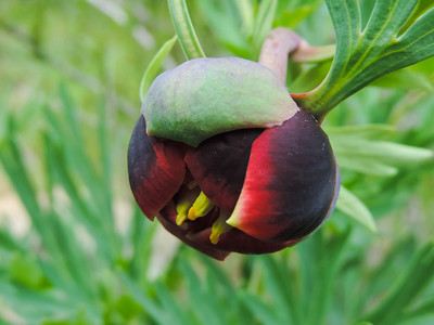 California Peony (Paeonia californica)