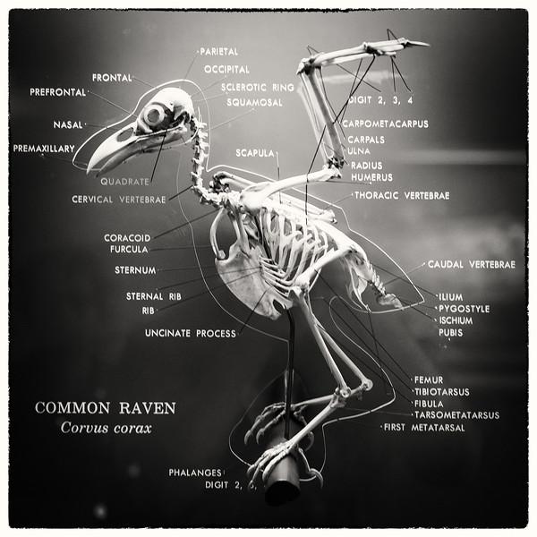 the common raven.jpg