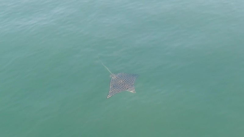 Drone video of an Eagle Ray in the Pacific Ocean