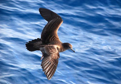 Petrels, Prions and Shearwaters